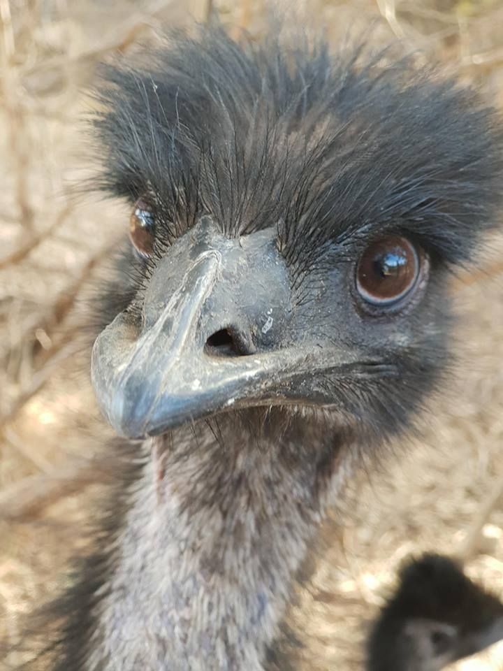 Renewed Interest In Health Properties Of Australian Emu Oil
